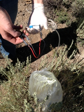 Sampling sagebrush odor compounds using dynamic headspace sampling