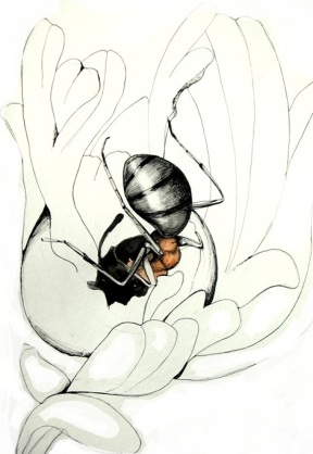 Ant (Formica sp.) chewing into a Eutreta diana gall. Drawn by Devyn Orr.