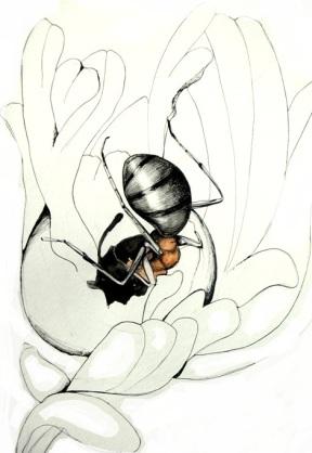 Ant (Formica sp.) chewing into a Eutreta diana gall. Drawn by Devyn Orr.