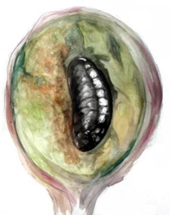 Eutreta diana pupa inside a dissected gall. Drawn by Devyn Orr.