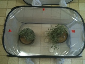 Testing the effect of conspecific density on female host-plant choice