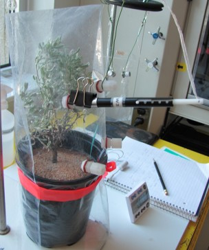 Sampling sagebrush odor chemicals using solid phase microextraction and a gas chromatograph-mass spectrometer.