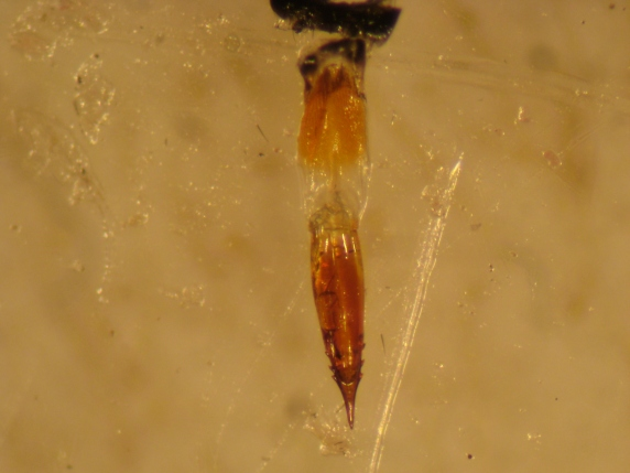 The saw-like ovipositor that Eutreta diana uses to insert eggs into sagebrush stems. Note the sharp teeth!