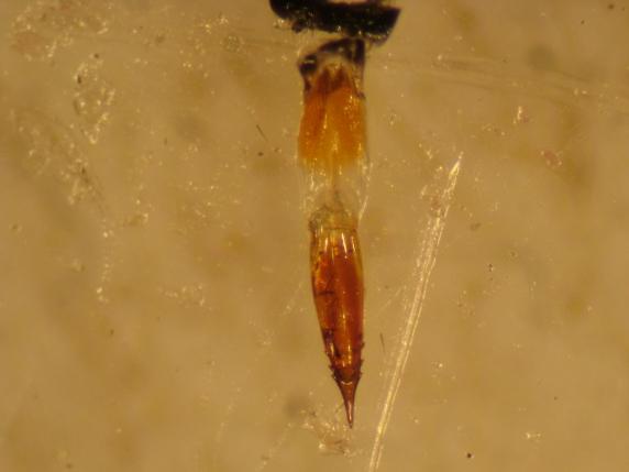 The saw-like ovipositor that Eutreta diana uses to insert eggs into sagebrush stems. Note the sharp teeth!