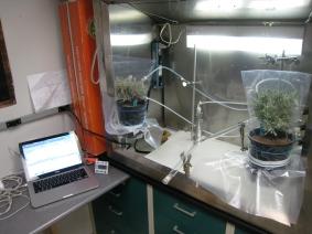 Testing preferences of female Eutreta diana to sagebrush plants that emit different odors