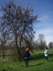 Valley oak with hundreds of past-season oak apple galls