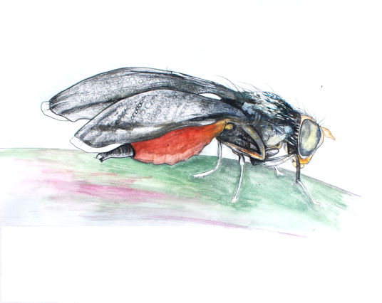 Eutreta diana, female. Drawn by Devyn Orr.