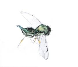Pteromalys sp., a parasitoid of Eutreta diana. Drawn by Devyn Orr.