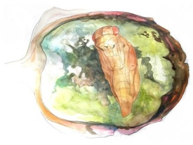 Parasitoid pupa inside dissected Eutreta diana gall. Drawn by Devyn Orr.